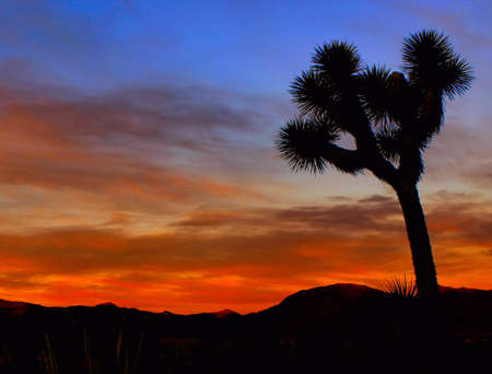 joshua: Sunset with a Joshua Tree