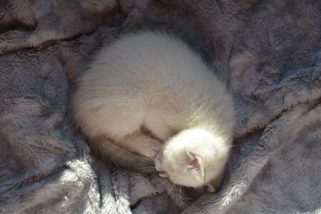 purr: Siamese kitten curled up asleep on gray blanket Stock Photo