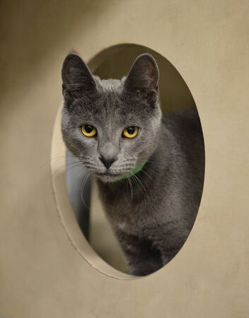 housecat: Gray Cat staring through a hole Stock Photo