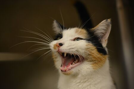 calico whiskers: Calico cat meowing