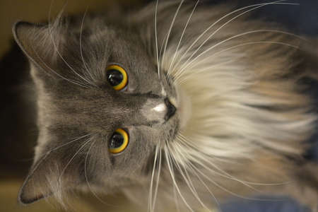 long haired: Long Haired Gray Cat Stock Photo
