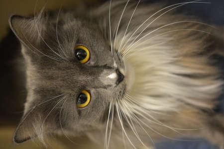 gray cat: Long Haired Gray Cat Stock Photo