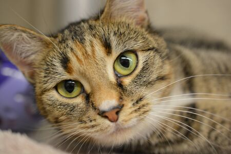 housecat: Face of a Tabby Cat Stock Photo