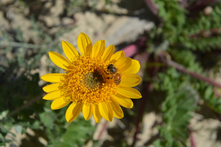 bee on flower: Bee and yellow flower