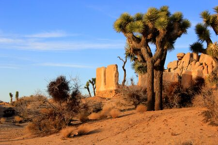 Joshua tree and an Adobe wall