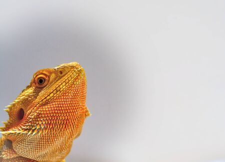 profile: Bearded Dragon, profile