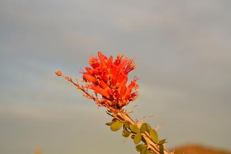 Red Ocotillo Flowers