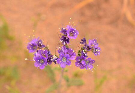 Purple desert flowers with orange sandy background