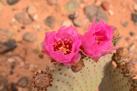 joshua: 2 pink Prickly Pear cactus flowers Stock Photo