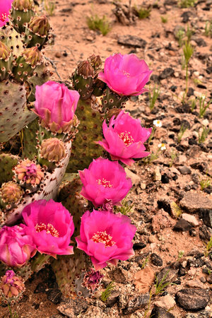 joshua: A group of bright pink prickly pear cactus blooms