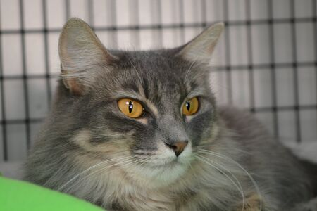 Medium haired Tabby with golden eyes