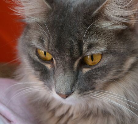 Golden eyes on a gray medium haired Tabby Reklamní fotografie