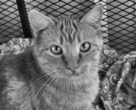 Black and white of a tabby staring straight ahead Reklamní fotografie