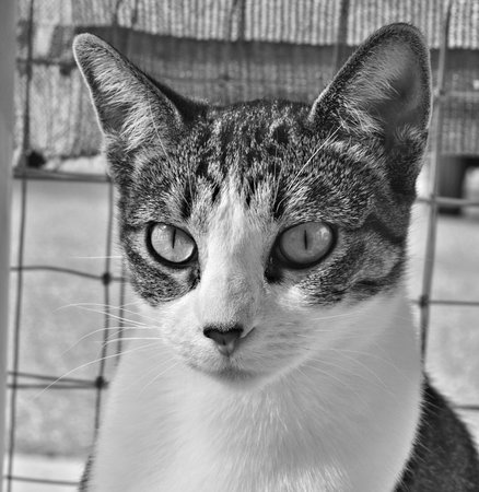 Black and white of a white tabby cat