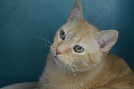 Pale Orange Tabby looking left with a blue background