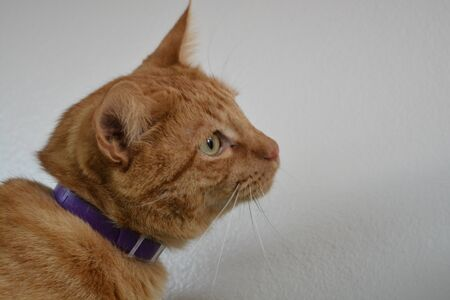Portrait of an Orange Tabby looking to his right with a collar on