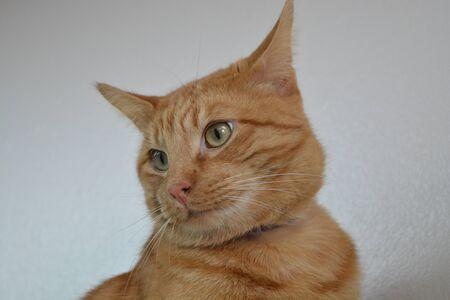 Portrait of an Orange Tabby looking left Reklamní fotografie