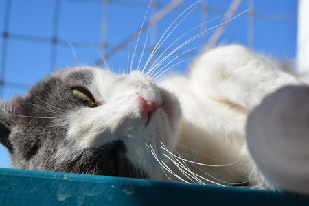 Gray and white cat basking in sunshine, laying on its back looking forward
