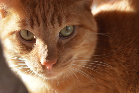Head shot of an Orange Tabby cat in partial sun and shade.