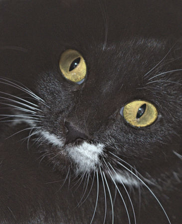 Macro of a black and white cats face with yellow eyes and white whiskers