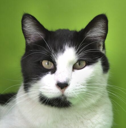 Close up of a black and white cat with a green background Foto de archivo