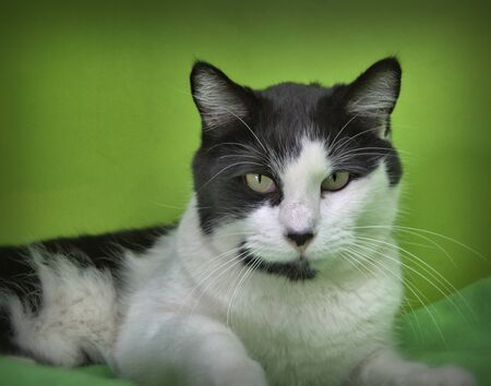 Black ad white cat with a green background
