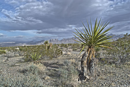 Yucca in desert with cloudy skies Stock Photo