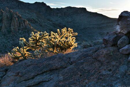 Cholla cacti illuminated by sun
