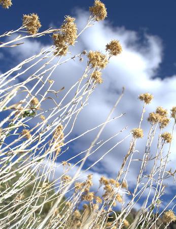 Looking up through Desert Sage