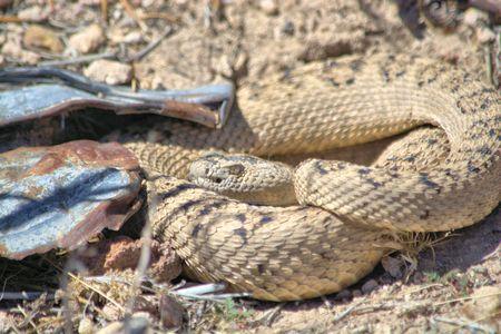Coiled rattlesnake