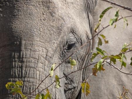 close up eye: Elephant close up degli occhi