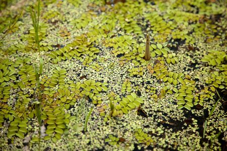 salvinia: Green floating moss pattern on a swamp surface background Stock Photo
