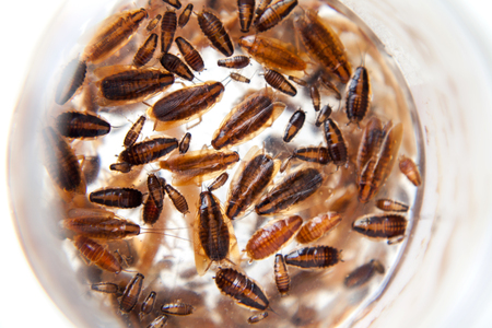 Group of German cockroaches of different ages. Beautiful dead cockroaches pattern background on white. Roaches of different development stages Stock Photo