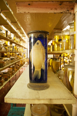 Beautiful dead fish specimen preserved wet in a jar of formalin. Jarred animal in a scientific collection of biological samples