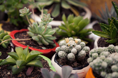 Many little potted succulent and cactus home plants. Various small green houseplants in pots background. Cute indoor garden blurred close-up Stockfoto