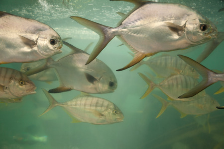 Group of Carangidae fish in an aquarium close-up. South China Sea underwater life species in Vietnam Stockfoto