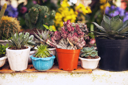 Many potted succulent and cactus home plants in a back yard. Various small green houseplants in pots background. Cute indoor garden close-up