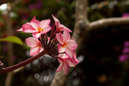 Bright pink plumeria flowers on a black background with copy space. Beautiful blossoming frangipani tree branch Stockfoto