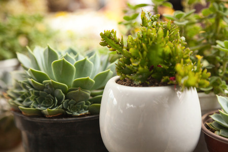Cute little green succulent plants blurred background. Two small potted houseplants in an indoor garden defocused