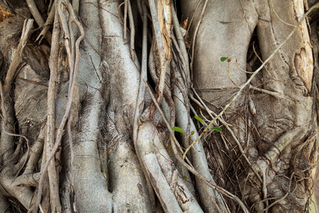 Banyan trees trunks with hanging roots close-up. Old trees tangled roots textured background
