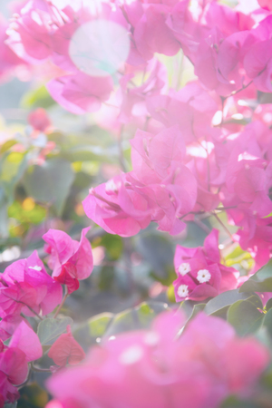 Beautiful Bougainvillea branch with purple flowers in a garden. Tropical tree in bloom blurry background