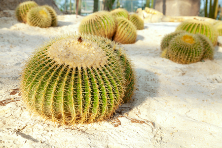 Golden barrel cactus on the sandy land in a garden. Group of Echinocactus grusonii species round plants