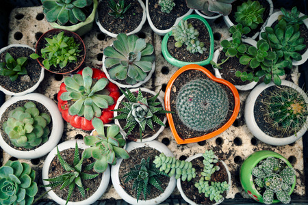 Cute little potted succulents and cacti top view background. Many small home plants in round and heart shaped pots from above. Plenty of various succulent houseplants in an indoor garden