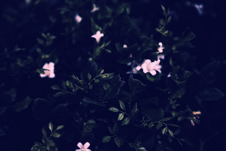 Bush foliage with white flowers in a garden at night. Dark blurry noir background Stockfoto - 124574857