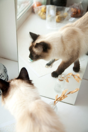 Cute longhair cat walking in front of a mirror. Elegant Balinese breed cat reflection in the home interior Stockfoto