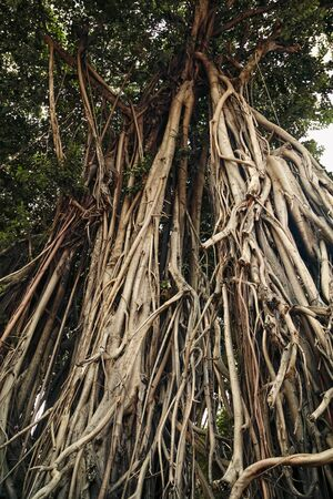 Big banyan tree trunks with hanging roots. Old tree tangled roots textured background
