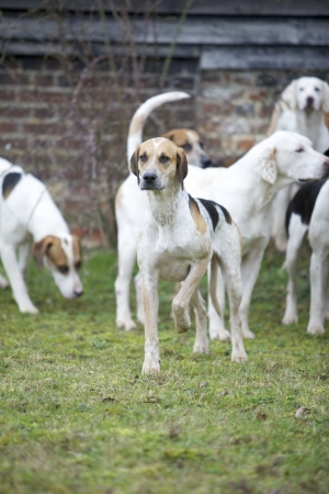 foxhunt: A hunting hound Stock Photo