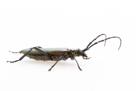 feeler: Beetle isolated on white