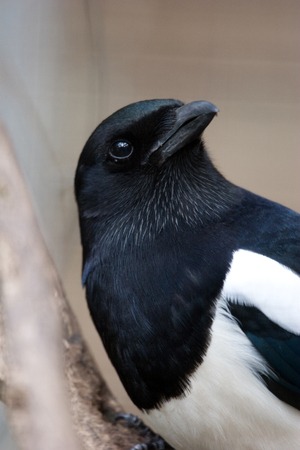 thieving: Magpie Stock Photo