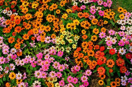 gerber: colorful flower texture